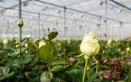 Weiße blühende Rose, die in einem Gewächshaus wächst Lizenzfreie Stockbilder