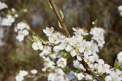 Weiße Blüte Stockfoto