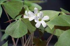 Weiße Blüte auf Shamrock Lizenzfreie Stockfotos