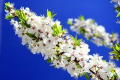 Weiße Blüte der kaukasischen Pflaume und blauer Himmel Stockfotografie