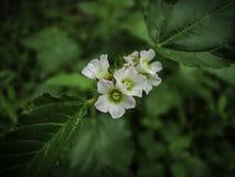 Weiße Blüte der wilden Blume stockbilder