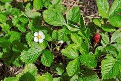 Weiße Blüte und rote Beere an der Walderdbeere Stockfotografie
