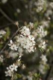 Weiße Blüten lizenzfreies stockbild