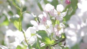 Weiße Blüten auf einem dekorativen Baum stock video