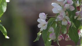 Weiße Blüten auf einem dekorativen Baum stock footage
