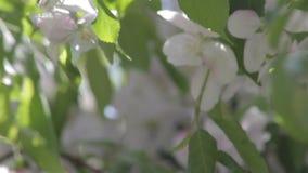 Weiße Blüten auf einem dekorativen Baum stock video footage