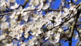 Weiße Blüten auf Pflaumenbaum stock video footage