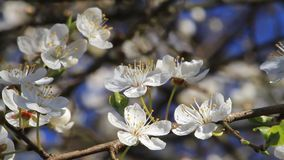 Weiße Blüten auf Pflaumenbaum stock footage