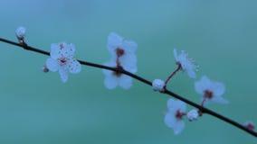 Weiße Blüten-Blumen bedeckt in den Wasser-Tröpfchen Stockbilder