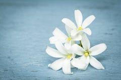 Weiße Blütenblume Orange Jessamine auf hölzernem Stockbilder