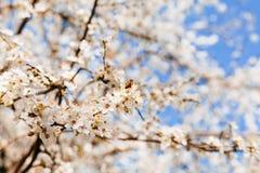 Weiße Blütenblumen im Frühjahr Stockbilder