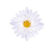 Weiße blaue Blume mit einem gelben Kern auf einem weißen Hintergrund Lizenzfreie Stockbilder