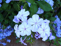weiße Bleiwurz oder Kap Leadwortpurpurblumen Stockbilder