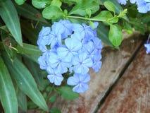 weiße Bleiwurz oder Kap Leadwortpurpurblumen Lizenzfreies Stockbild