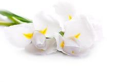 Weiße Blenden Stockfotografie