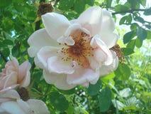 Weiße Blume 01 Stockfotografie