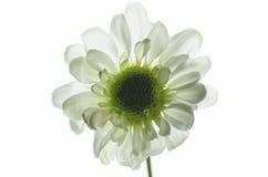 Weiße Blume Stockbilder