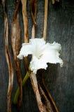 Weiße Blume Lizenzfreie Stockfotografie