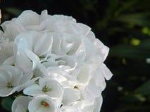Weiße Blume Lizenzfreies Stockfoto