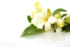 Weiße Blume, Andaman-Satinholz auf Wasserboden Stockfoto