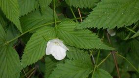 Weiße Blume auf einem Busch Stockbilder