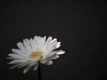 Weiße Blume auf einem dunklen Hintergrund Stockbild