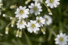 Weiße Blume auf einem grünen Hintergrund Stockfotografie