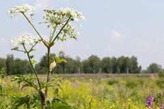Weiße Blume auf einem Hintergrund von Grünfeldern und Lizenzfreies Stockbild