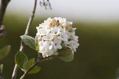 Weiße Blume auf grünem Hintergrund Stockfotografie