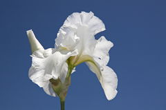 Weiße Blume auf Hintergrund des blauen Himmels Lizenzfreie Stockbilder
