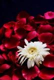 Weiße Blume auf roten Blumenblättern Lizenzfreie Stockbilder