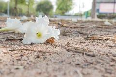 Weiße Blume auf sandigem Boden Lizenzfreies Stockbild