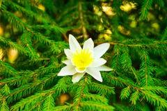 Weiße Blume auf Tannenzweig lizenzfreie stockfotos