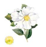 Weiße Blume Botanische Illustration des Aquarells Stockfotos