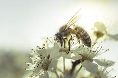 Weiße Blume der Biene Stockfotos