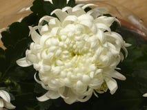 weiße Blume der Chrysantheme Lizenzfreies Stockfoto