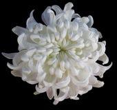 Weiße Blume der Chrysantheme lokalisiert mit Beschneidungspfad auf einem schwarzen Hintergrund Hellgelbe Mitte der schönen Chrysa Lizenzfreies Stockbild