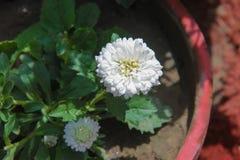 Weiße Blume der Dahlie Stockbild