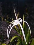 Weiße Blume der Kaplilie Stockbilder
