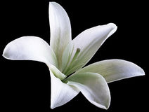 Weiße Blume der Lilie lokalisiert mit Beschneidungspfad auf einem schwarzen Hintergrund Schöne Lilie Für Auslegung Stockbild