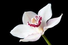 Weiße Blume der Orchidee auf getrenntem schwarzem Hintergrund Stockbilder
