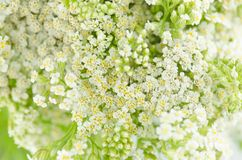 Weiße Blume der Schafgarbe Achillea-millefolium mit weißen Blumen Stockfotos
