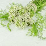 Weiße Blume der Schafgarbe Achillea-millefolium mit weißen Blumen Lizenzfreie Stockfotografie