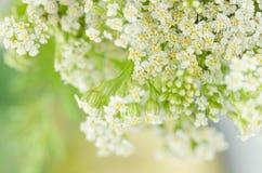 Weiße Blume der Schafgarbe Achillea-millefolium mit weißen Blumen Lizenzfreie Stockbilder