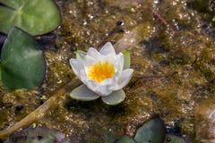 Weiße Blume der Seerose mit zentralem Wassertröpfchen im Sommersumpf Stockbild