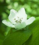 Weiße Blume des Apfelbaums Stockbild