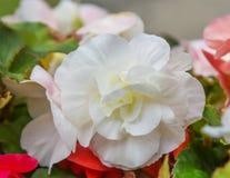 Weiße Blume des Balsams Lizenzfreie Stockfotos