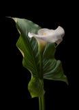 Weiße Blume des Calla mit großem grünem Blatt Stockbilder