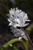 Weiße Blume des Frühlinges Lizenzfreie Stockfotografie
