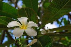 Weiße Blume des Frangipani (Plumeria) lizenzfreie stockfotografie